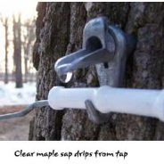 How sweet! Minnesota maple syrup (and a new addition to the family, too!)