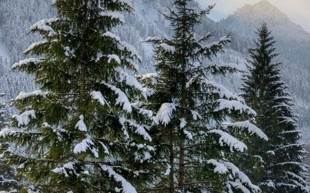 Your Evergreen Tree Guide!